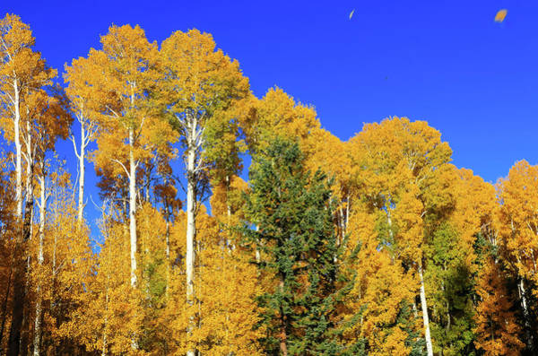 Poster featuring the photograph Arizona Aspens And Blowing Leaves by Dawn Richards