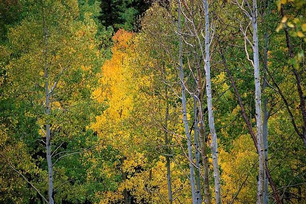 Aspens In Yellow Poster