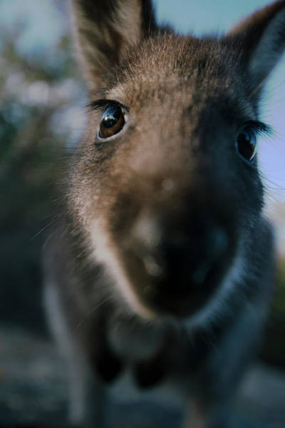 Australian Bush Wallaby Outside During The Day. Poster