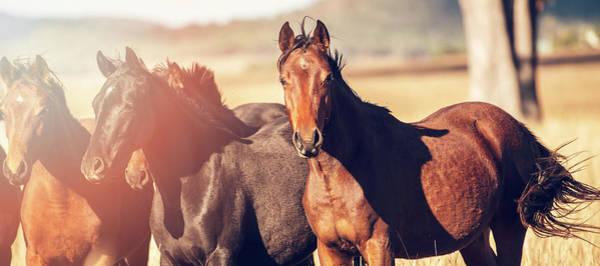 Australian Horses In The Paddock Poster