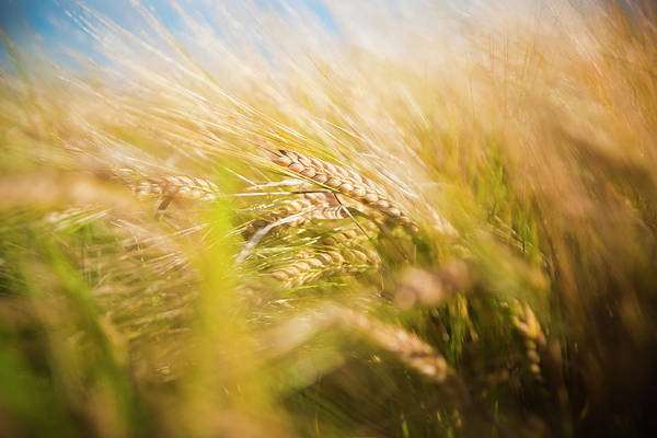 Background Of Ears Of Wheat In A Sunny Field. Poster