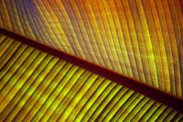Banana Leaf 8602 Poster