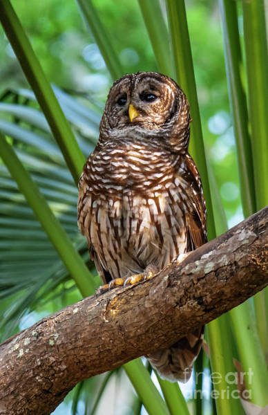 Barred Owl On Perch Poster