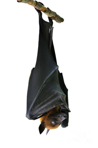 Bat, Hanging Lyles Flying Fox Isolated Poster