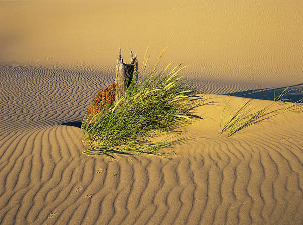 Beachgrass And Ripples Poster