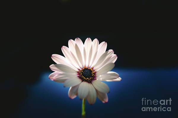 Beautiful And Delicate White Female Flower Dark Background Illum Poster