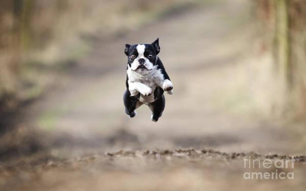 Beautiful Fun Young Boston Terrier Dog Poster