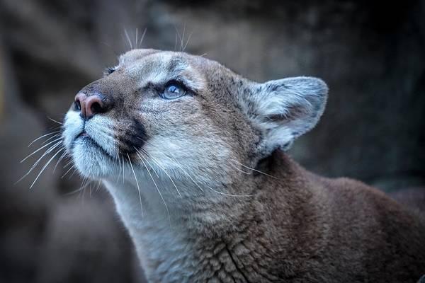 Beautiful Puma Poster