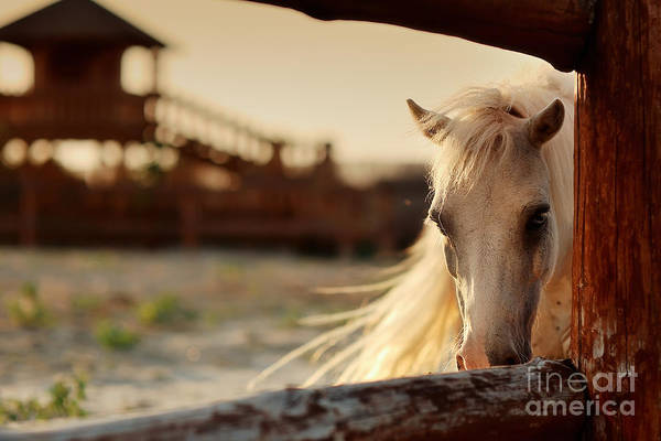 Beautiful, Quiet, White Horse Waits In Poster