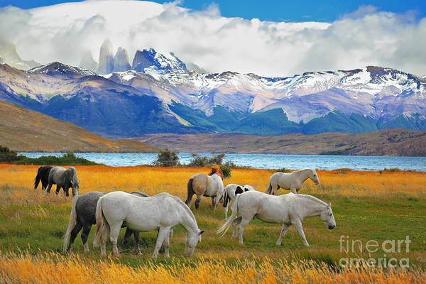 Beautiful White And Gray Horses Grazing Poster