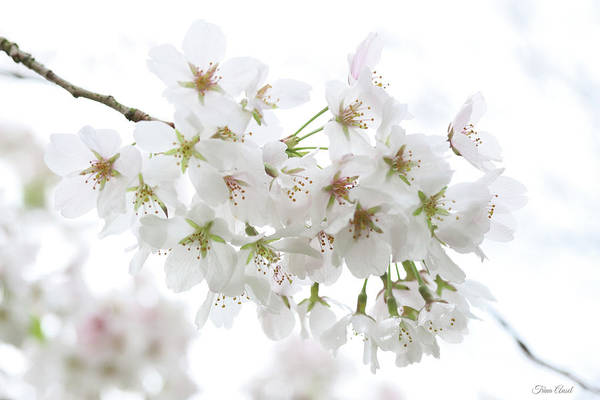 Beautiful White Cherry Blossoms Poster