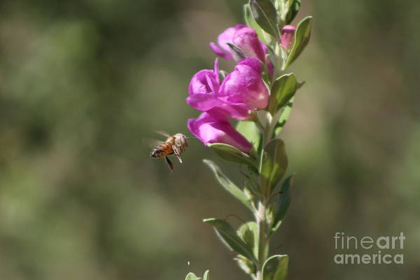 Bee Flying Towards Ultra Violet Texas Ranger Flower Poster