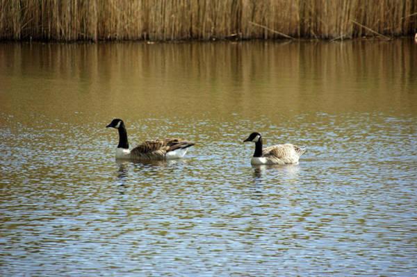 Bidston.  Bidston Moss Wildlife Reserve. Two Geese. Poster