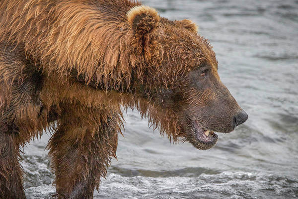 Big Brown Bear Fishing Poster