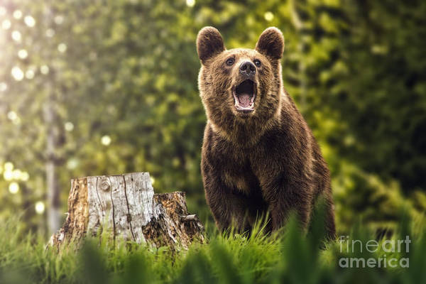 Big Brown Bear In Nature Or In Forest Poster