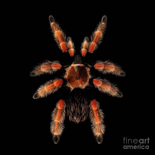 Big Spider Brachypelma Boehmei Poster