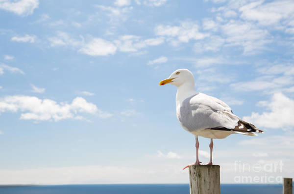 Birds And Wildlife Concept - Seagull On Poster