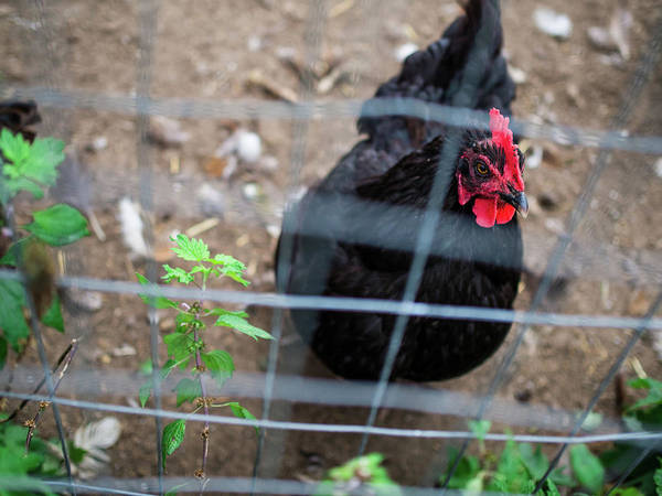 Black And Red Chicken Poster