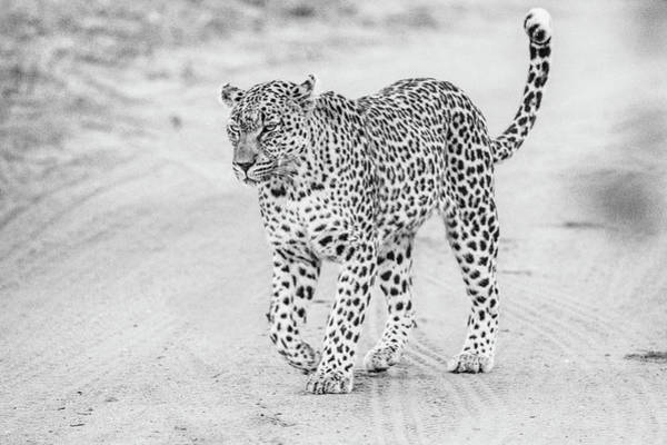 Black And White Leopard Walking On A Road Poster