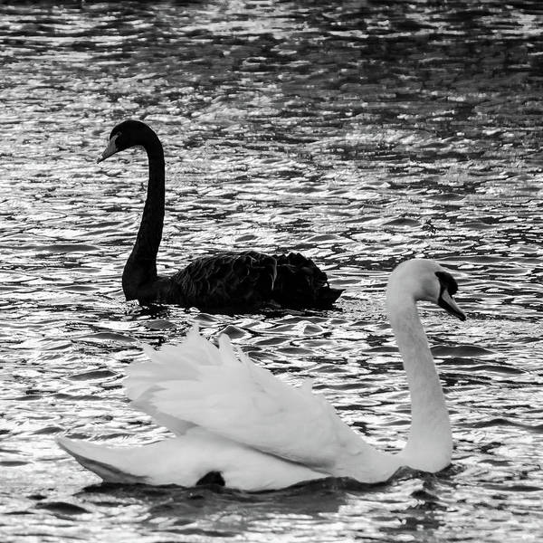 Black And White Swans Poster