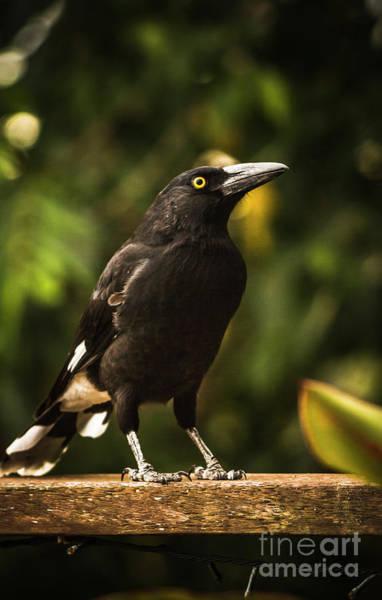Black Currawong Bird Poster