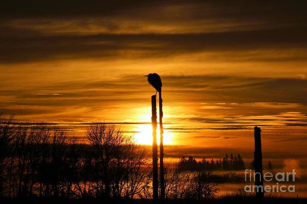Blue Heron Sunrise Poster