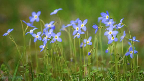 Blue Wild Flowers Bluets Poster