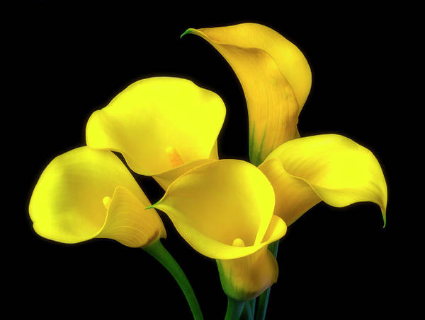 Bouquet Of Yellow Calla Lilies Poster