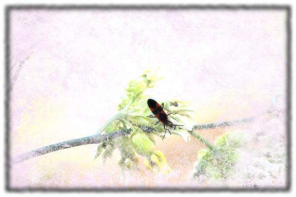 Boxelder Bug In Morning Haze Poster