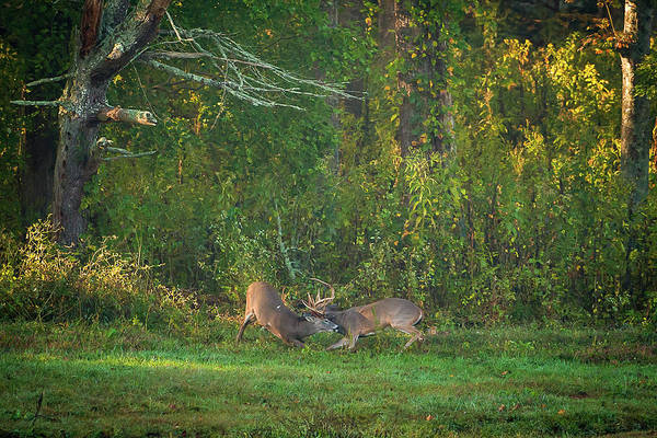 Poster featuring the photograph Buck Battle by Jeff Phillippi