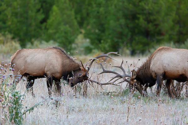 Bull Elk Battle Rocky Mountain National Park Poster