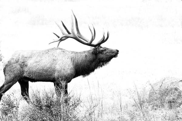Bull Elk In Rut Poster