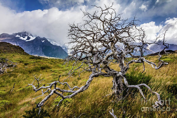 Burnt Tree, Torres Del Paine, Chile Poster