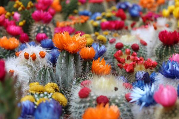 Cacti Flowers Poster