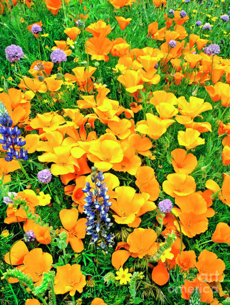 California Poppies And Betham Lupines Southern California Poster