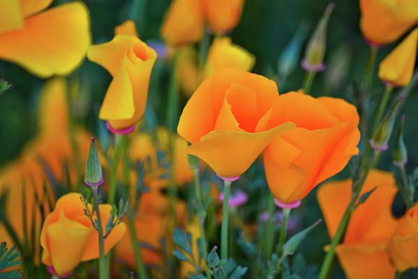 California Poppies Lake Elsinore Poster