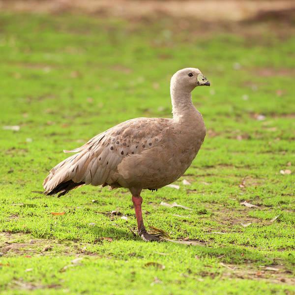 Cape Barron Goose Poster