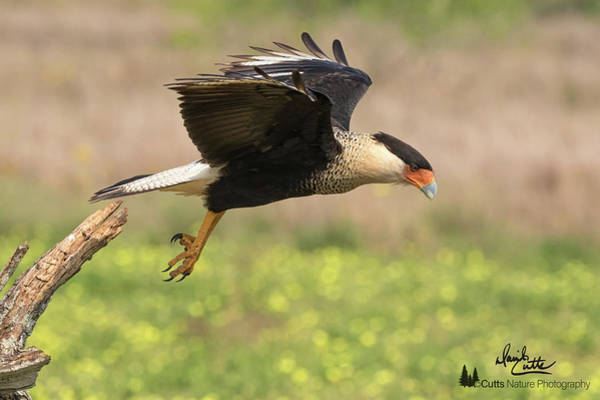 Caracara Taking Off Poster