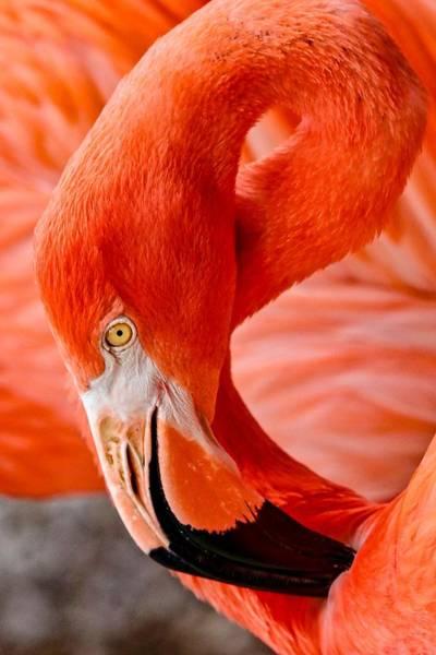 Caribbean Flamingo Poster