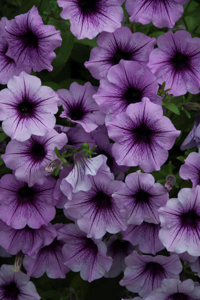 Cascade In Violet Poster