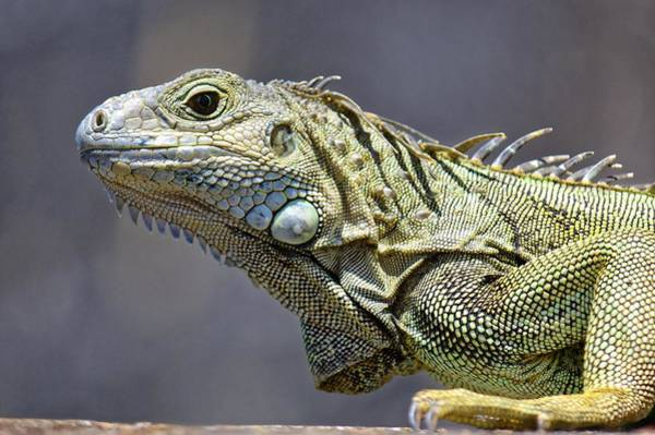 Chicken Of The Trees - Iguana Poster