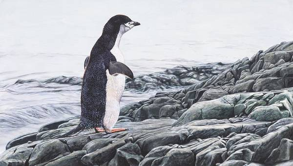Poster featuring the painting Chinstrap Penguin On A Rock By Alan M Hunt by Alan M Hunt