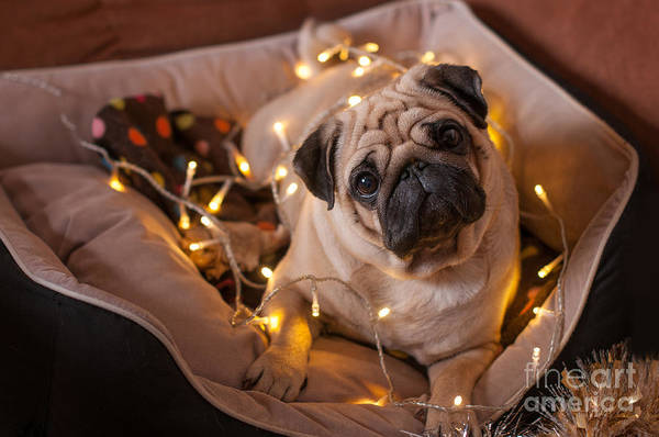 Christmas Dog With Garland In Bed On Poster