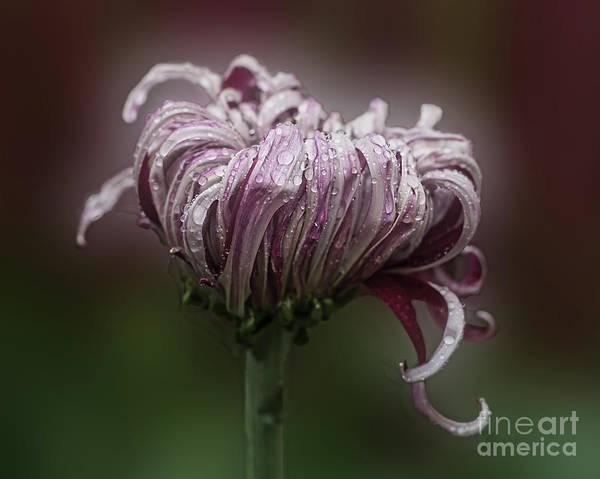 Chrysanthemum 'lily Gallon' Poster