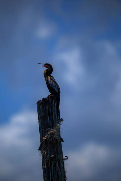 Cinematic Looking Anhinga Poster