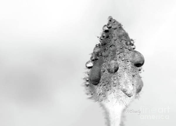 Clematis Bud In Rain Poster