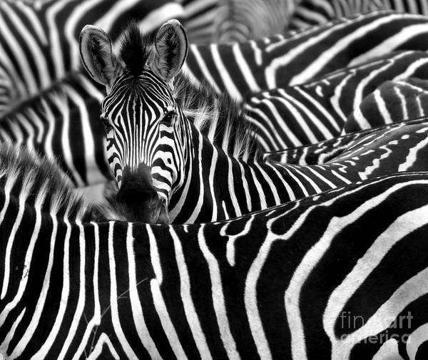 Close Up From A Zebra Surrounded With Poster