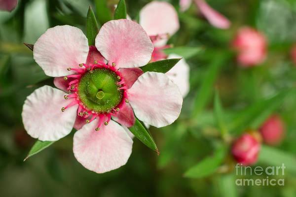 Close-up Of A Pink Manuka Leptospermum Poster