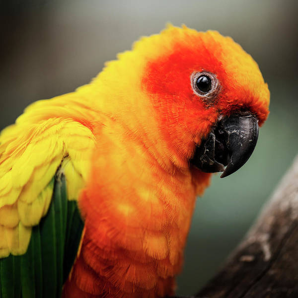 Close Up Of A Sun Conure Parrot. Poster