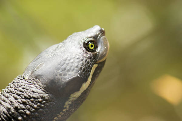 Close Up Of A Turtle. Poster
